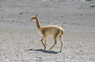 Vicuna wild on altiplano, southwest highlands, Bolviia, South America