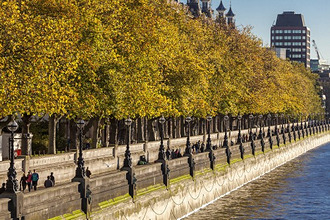 People walking beneath trees bearing autumn coloured leaves along the South Embankment of the River Thames, Westminster, London, England, United Kingdom, Europe