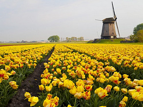 Windmill and tulip field near Schermerhorn, North Holland, Netherlands, Europe