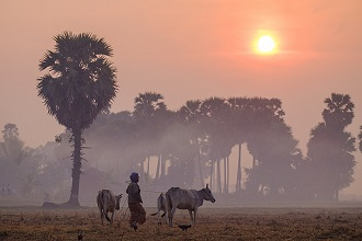 Farmer bringing his cows in the fields, Kompong Thom (Kampong Thom), Kompong Thom province, Cambodia, Indochina, Southeast Asia, Asia