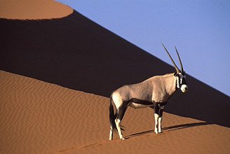 Oryx Antilope standing on a dune in the sunlight, Namib, Naukluft Park, Namibia, Africa