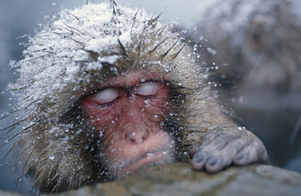 Japanese Macaque sleeping in hot pool, Snowmonkey, Japanese Alps, Japan