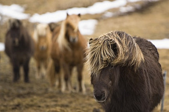 Small group of icelandic horses, Iceland