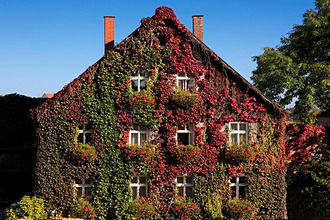 Gable of a house covered with wine, Dinelsbuehl, Romantic Road, Franconia, Bavaria, Germany
