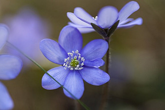 Liverwort, Hepatica nobilis, blooming, flower of the year 2013, Bavaria, Germany