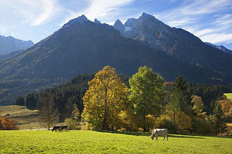 Cattle out at feed near Ramsau, view onto Hochkalter, Berchtesgaden region, Berchtesgaden National Park, Upper Bavaria, Germany, Europe