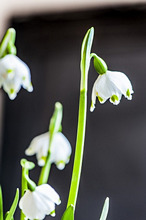 Close up of snowdrops, Hamburg, Germany