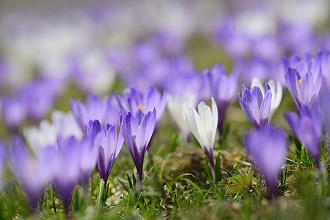 White and purple crocuses in blossom, Heuberg, Chiemgau range, Upper Bavaria, Bavaria, Germany
