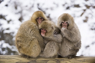 Japan, Japanese macaques, Macaca fuscata, cuddle up, winter
