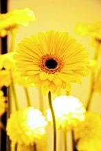 Flower, vase, yellow, gerbera