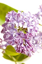 Spring, lilac, purple, close-up