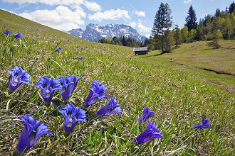 Gentian in front of hut and mountains