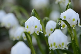 Spring Snowflake, Leucojum vernum, close-up