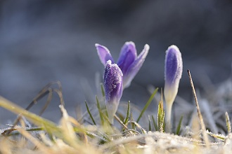 Woodland crocus or Tommasini's crocus, Crocus tommasinianus, close-up