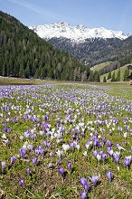 Crocus meadow in front of snowy mountains