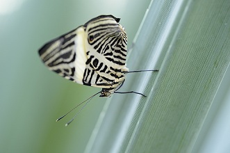 Tropical butterfly, Colobura dirce, zebra Mosaic, sitting, leaves, side view