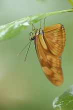 Butterfly, Dryas iulia, 'The Flame', leaf, sitting