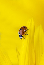 Sunflower, detail, bloom, seven point, Ladybugs, Coccinella septempunctata, Series, flower, petals, yellow, animal, insect, bugs, lucky bugs, Lord bugs, Coccinellidae, nature, symbol, luck, lucky charm,