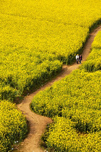 China, Yunnan, Luoping. Chinese tourists enjoying the mustard fields in bloom at Luoping.