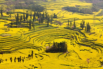 China, Yunnan, Luoping. Mustard fields at Niujie, known as the 'snail farms' due to the unique snail shell like terracing.