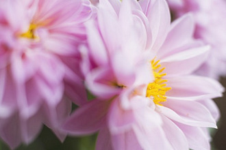 Studio shot of pink dahlias in selective focus