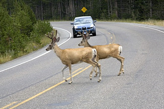 Mule deer, Yellowstone National Park, Wyoming, United States of America (USA), North America