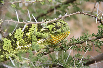 Tanzania, Africa. A place where nature and big animals live together in perfect armony. Tanzania has considerable wildlife habitat, including much of the Serengeti plain. Chameleon, Serengeti