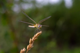 Macro of dragonfly, Sympetrum fonscolombii, female