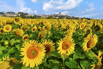 View of Loreto among the Sunflowers, Marche, Italy, Europe