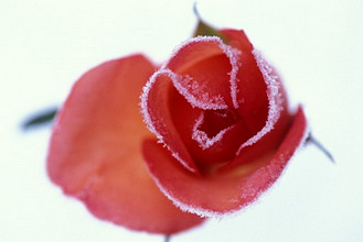 Rose with frost, Italy