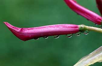 Drops on nerine bud, Italy