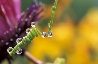 Drops on tendril of passionflower, Italy