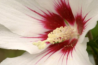 Hibiscus syriacus 'Red Heart', rose of Sharon