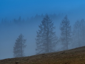 larchs in the fog, Bondone mountain, Trentino, Italy, Europe