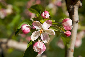 flowering of apple tree, Non valley, Trentino, Italy, Europe,