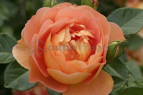 Rosa inglese pat austin english rose cuboimages photo for Rosa in inglese