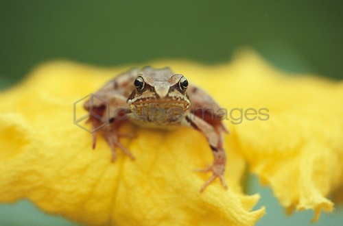 Close up of an agile frog sitting in a flower, Rana Dalmatina, Petals, Beauty in Nature, Bavaria, Germany