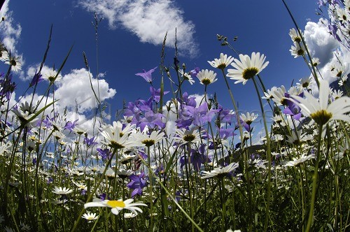Meadow full of flowers, marguerites, oxeye daisies, Leucanthemum vulgare, Spring, South Tyrol, Italy