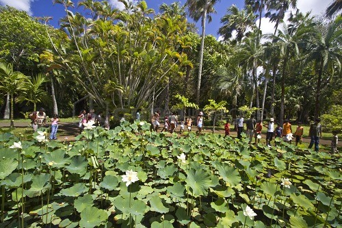 Mauritius africa nymphea lotus flower tank in sir seewoosagur mauritius africa nymphea lotus flower tank in sir seewoosagur ramgoolam royal botanical garden of pamplemousses mightylinksfo