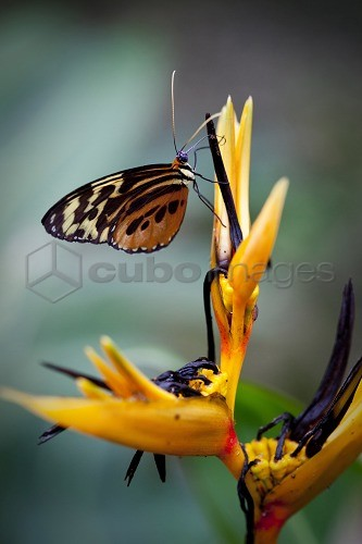 Butterfly on a bird of paradise flower, Amazone, Ecuador, South America