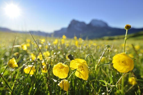 Flowering meadow with buttercups in front of Langkofel and Plattkofel, Seiseralm, Dolomites, UNESCO world heritage site Dolomites, South Tyrol, Italy