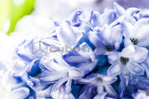 Lilac hyacinth blossoms, Hamburg, Germany
