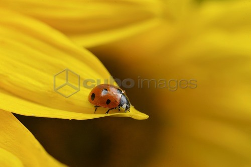 Ladybird, Coccinellidae, sitting on a yellow sunflower leaf, Germany