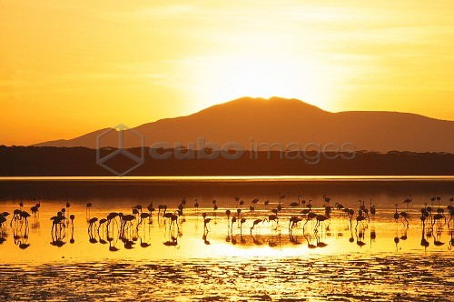 Tanzania, Serengeti-Nationalpark, Ndutu sea, silhouette, pink flamingos,DuskAfrica, landscape, waters, soda sea, animals, wild animals, birds, Rosa flamingos, Phoenicopterus ruber roseus, Wildlife, wildlife African, evening, mood, evening mood, full of atmosphere, color mood yellow, greater flamingo