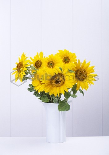 Flower vase, sunflowers, Vase, white, plants, flowers, bloom heads, blooms, petals yellow, summer flowers, garden flowers, prime, nature, Floristik, quietly life, fact reception, concept, summery, interior,