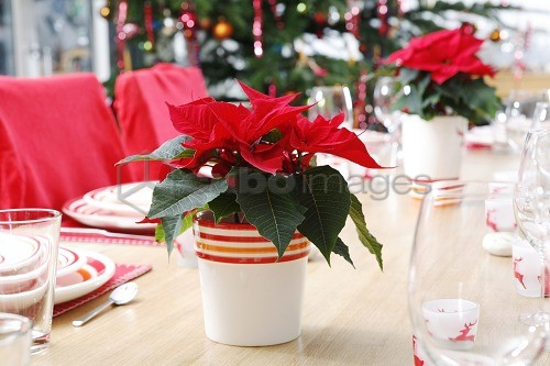 Red poinsettia in pot on table, poinsettia, Euphorbia pulcherrima