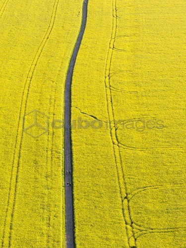 Canola in full bloom, with track and hikers. Europe, Central Europe, Germany, Saxony, May