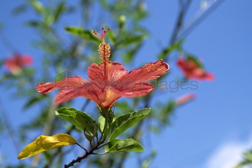 Close Up Of Red Hibiscus Flower At Churuquite Grande In Cocle